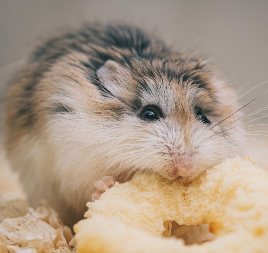 Urgencias veterinarias para hamsters en Bogotá