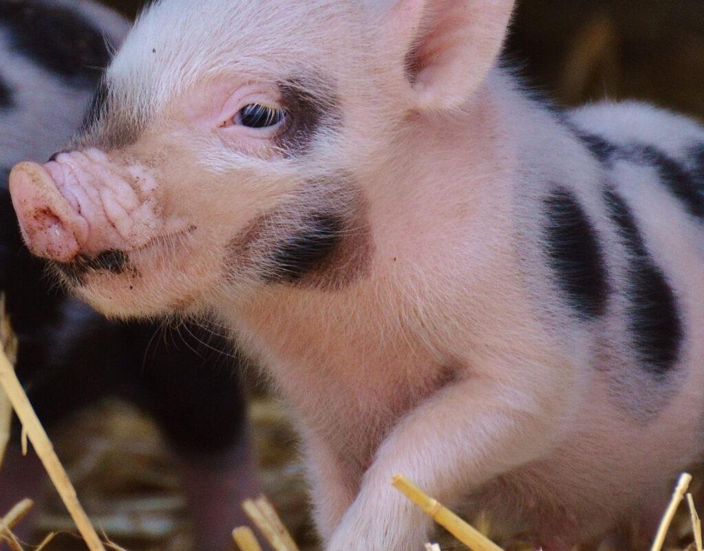 Veterinarias para mini pigs en Bogotá