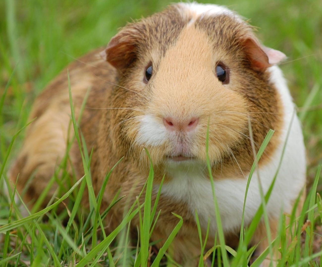 Urgencias veterinarias para cuyos en Bogotá